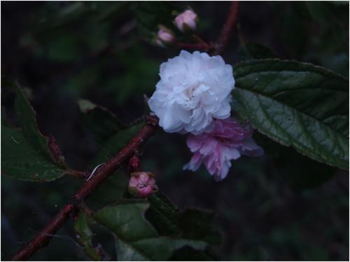 Flowering Almond in Knightdale, NC - Photo by Glenda S. Ryan